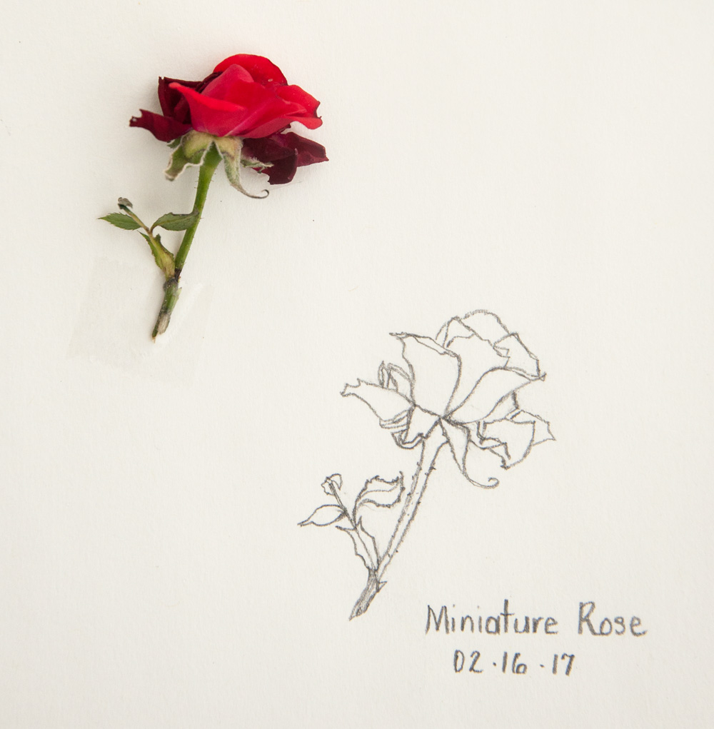 1000x1021 Sketch Miniature Rose Amp Small Pauses
