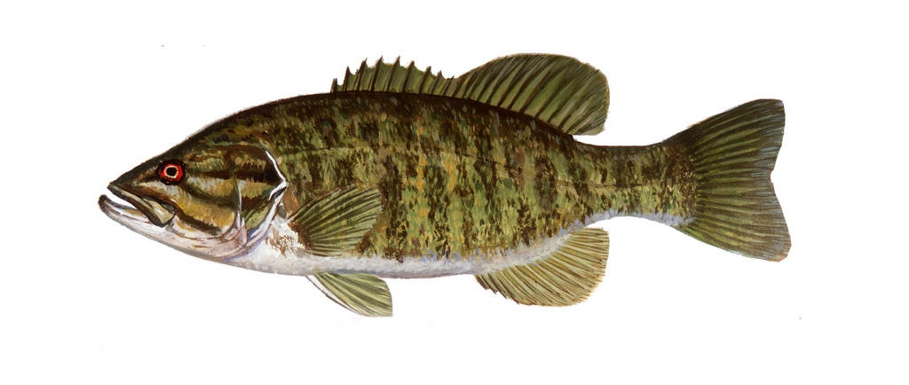 Smallmouth Bass Drawing at GetDrawings.com   Free for personal use ...