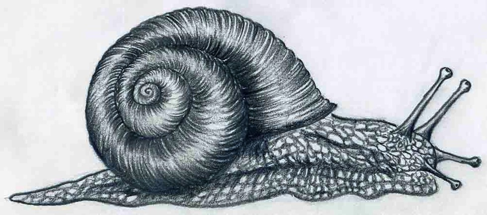 980x433 How To Draw A Snail