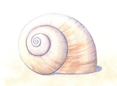 236x173 Image Result For Moon Snail Shell Tattoo Sea Shells