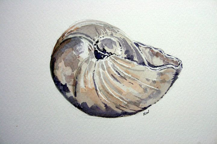 720x480 Moon Snail Shell