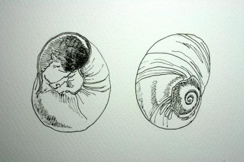 480x320 Moon Snail Shells