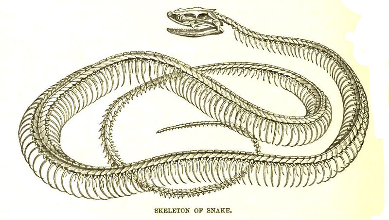 Snake Skeleton Drawing at GetDrawings.com | Free for personal use ...