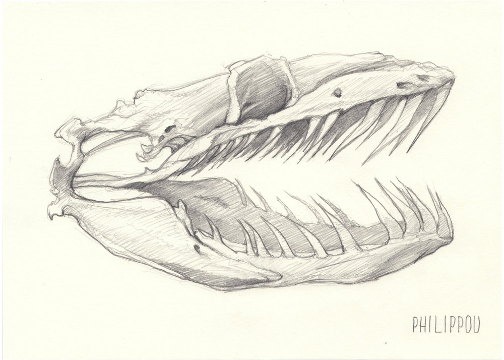 Snake Skull Drawing at GetDrawings.com | Free for personal use Snake ...