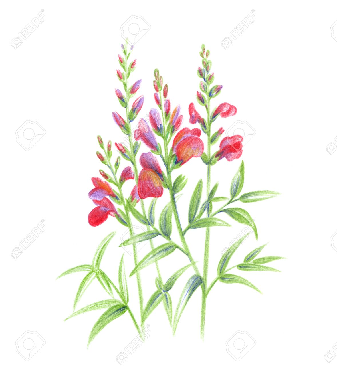 Snapdragon Flower Drawing at GetDrawings.com | Free for personal use ...
