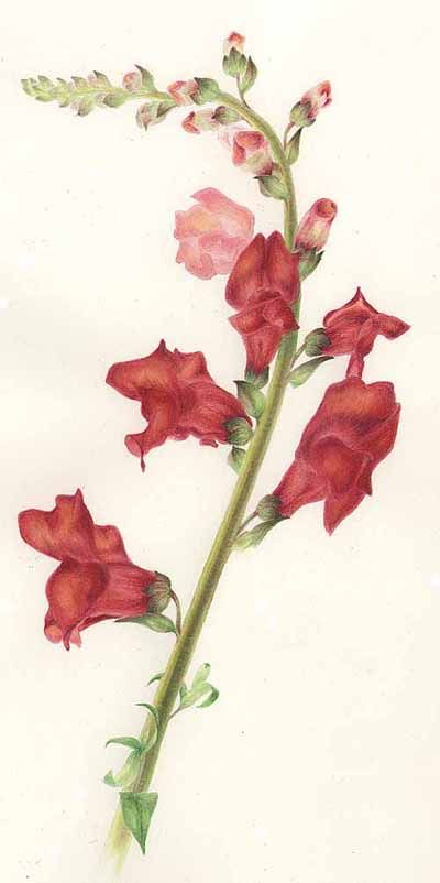 400x802 Botanical Snap Dragon Tattoo Antirrhinum Snapdragon Favorite