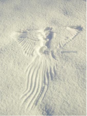 336x449 The Snow Angel Of Death Why Evolution Is True