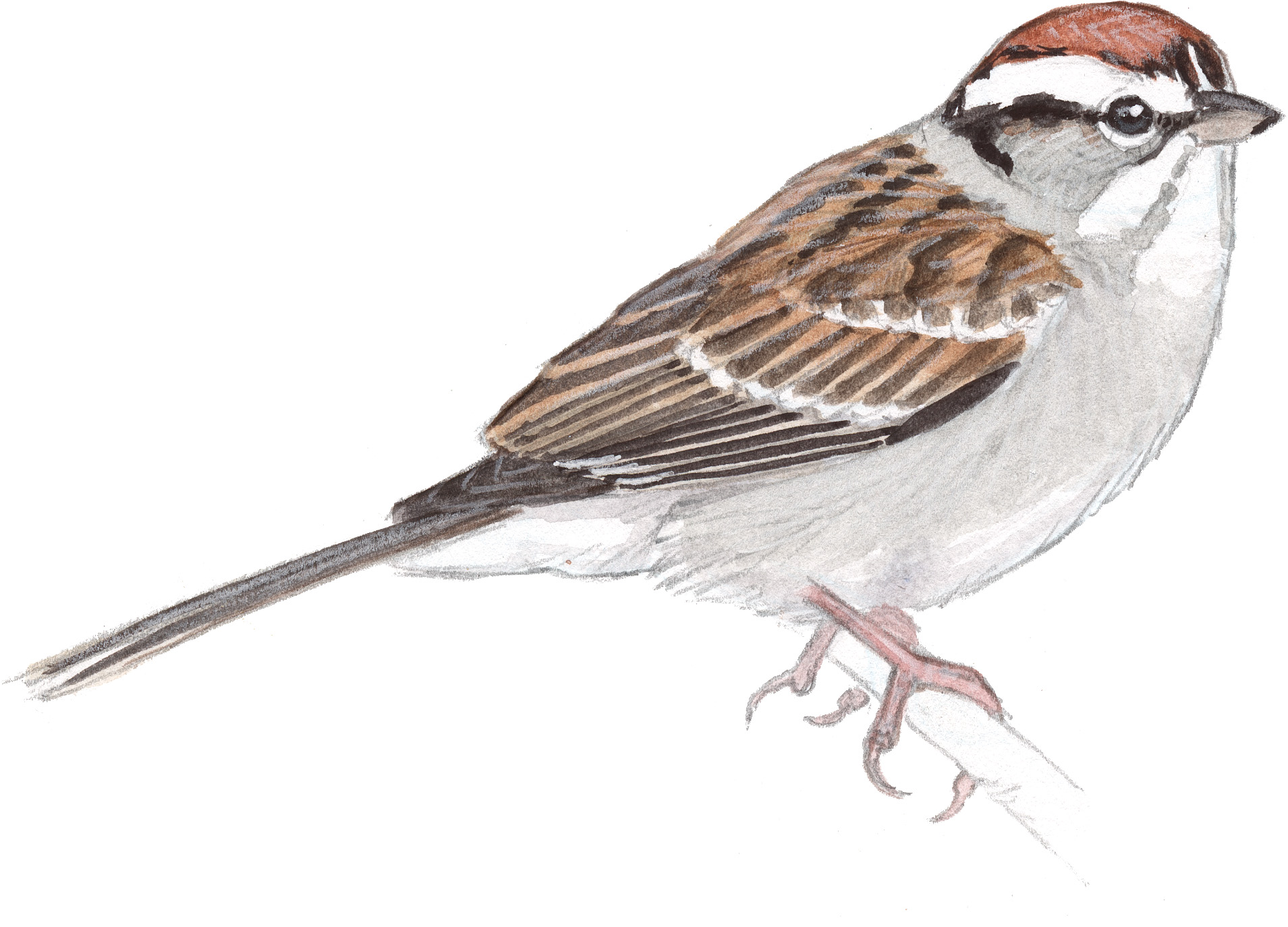 1909x1374 Chipping Sparrow