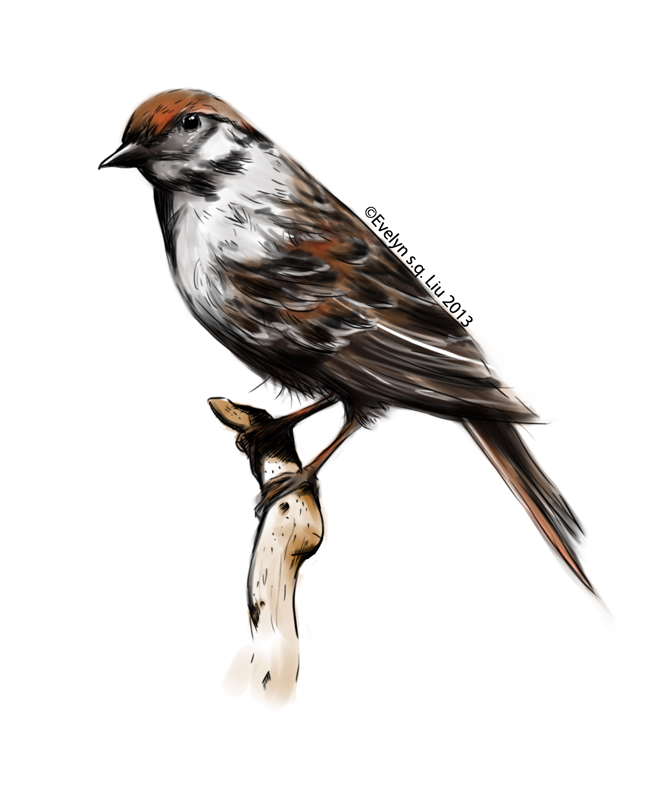 671x790 Drawing Exercise Chipping Sparrow Evelyn S.q. Liu