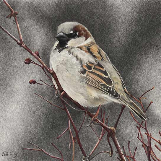 545x545 House Sparrow Bird Painting, In Colored And Graphite Pencils, By