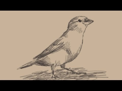 Sparrow bird drawing at getdrawings free for personal use