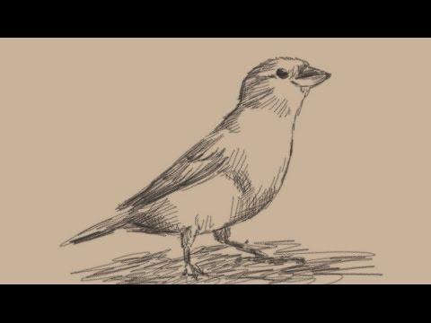480x360 How To Draw A Sparrow Bird
