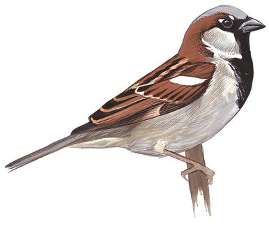 386x324 Old World Sparrows Audubon