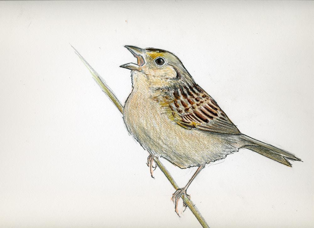 1000x727 Grasshopper Sparrow Neornithes