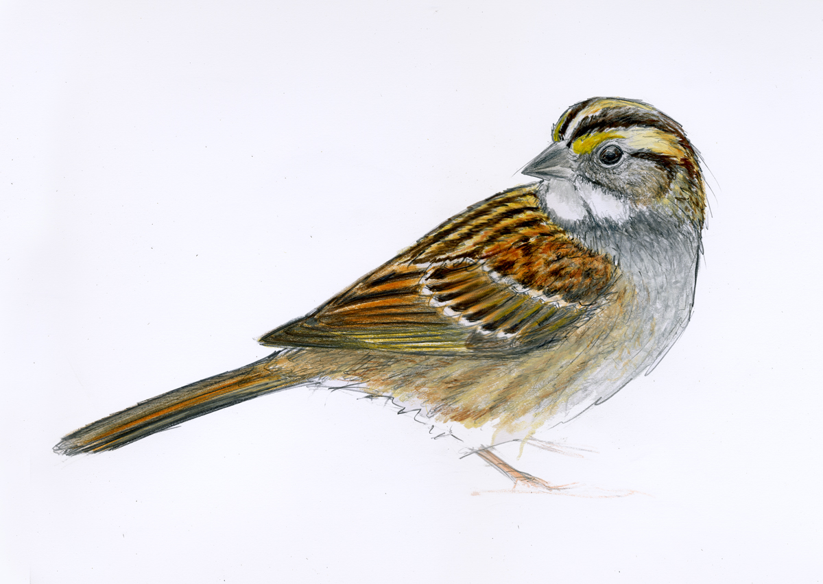 1200x852 Images For Gt Sparrow Drawing Pictures Sketch