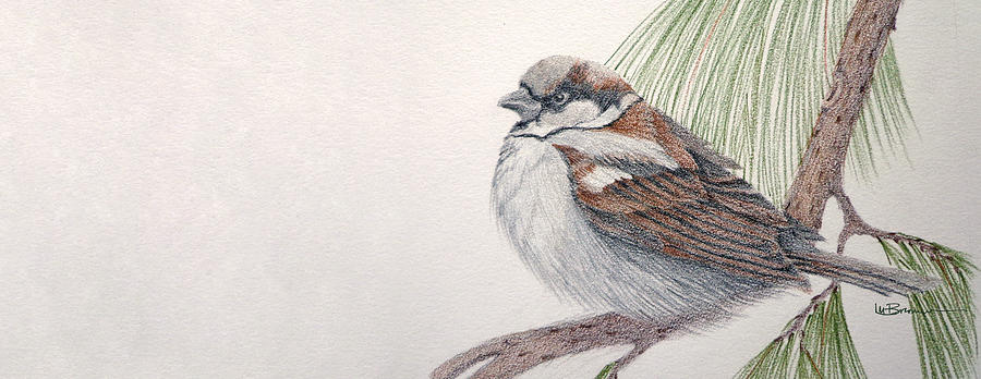 900x348 Sparrow Among The Pines Drawing By Leslie M Browning