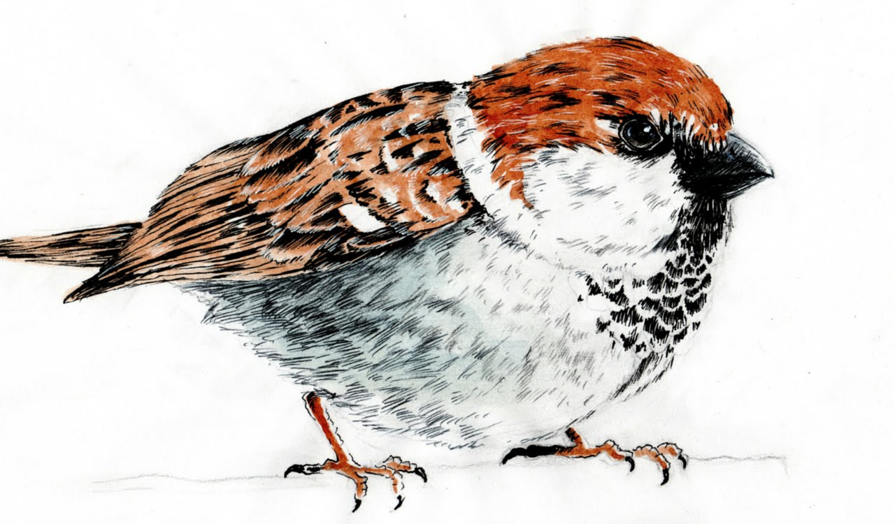 1280x750 Speed Drawing Cute Sparrow