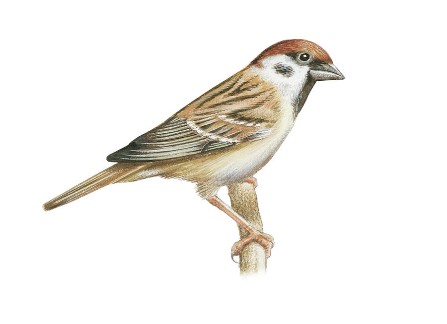 900x654 Tree Sparrow Drawing By Lionel Portier