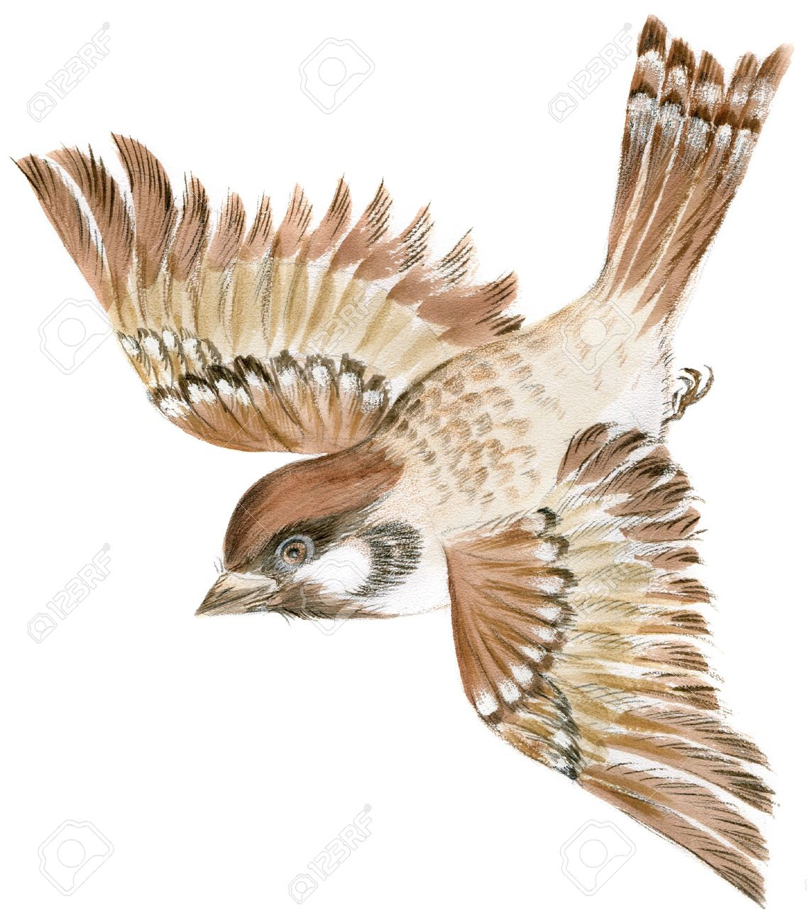 1137x1300 Painting Of A Sparrow Flying In Isolation Stock Photo, Picture