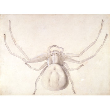 355x355 Study Of A Light Grey Spider Potter, Beatrix Vampa Search
