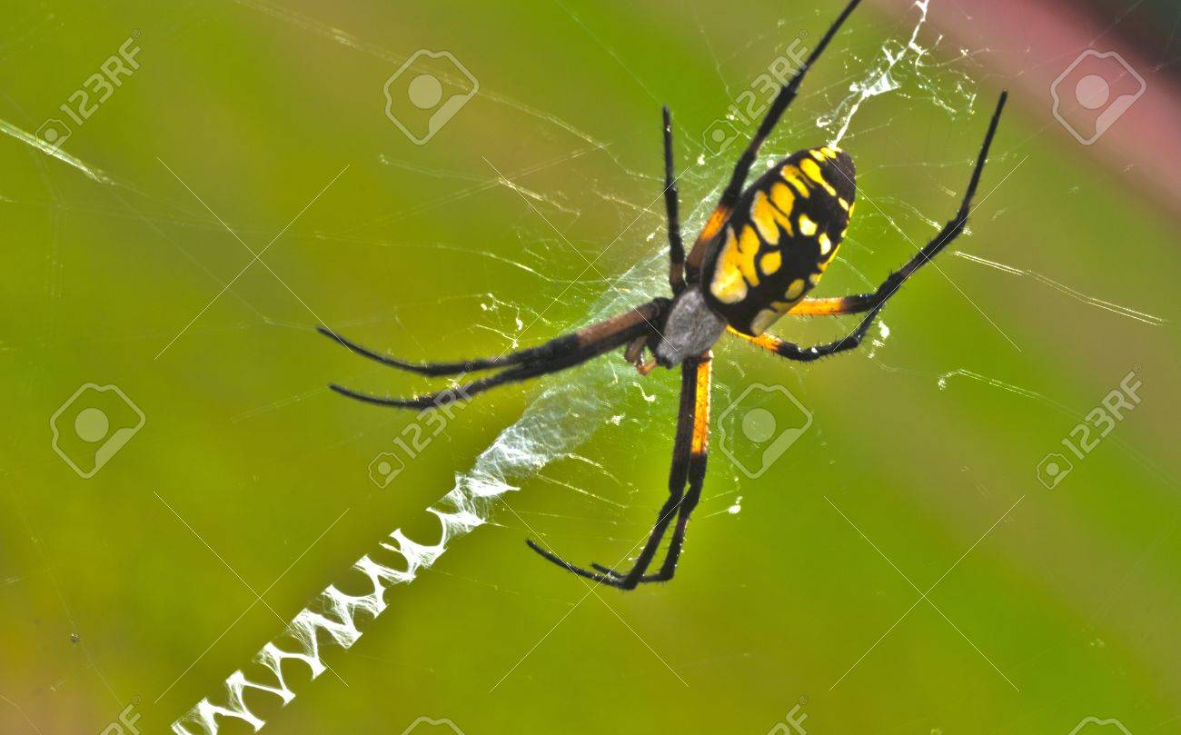 1300x809 Black Yellow Drawing Spider In Web Stock Photo, Picture