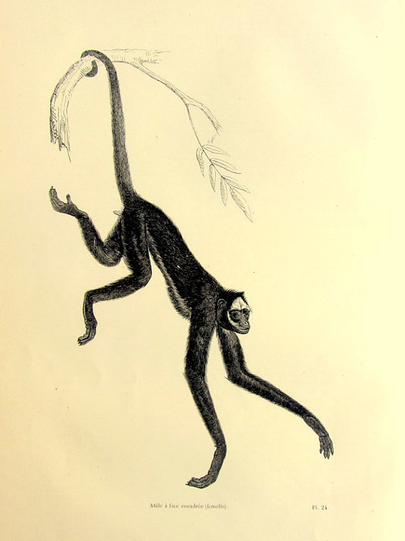 570x760 Original Beautiful Antique Spider Monkey By Lyranebulaprints