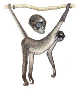 260x304 The Brown Spider Monkey Of Venezuela Is On The Current Top 25 Most
