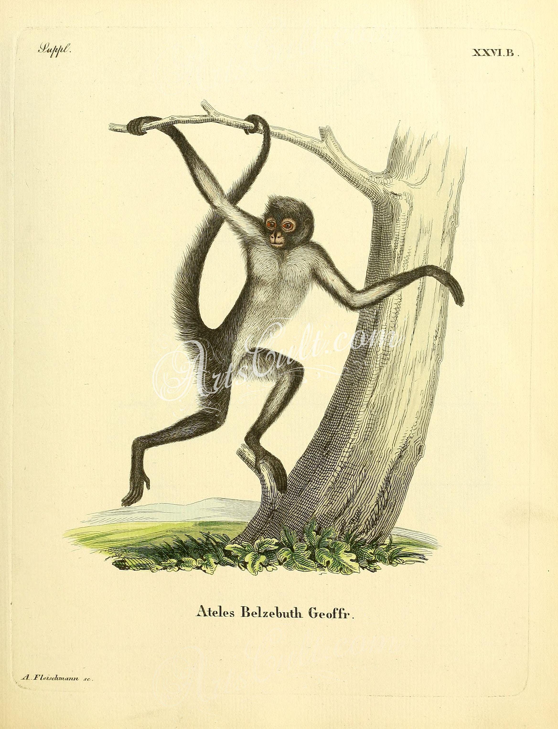 2336x3053 White Bellied Spider Monkey
