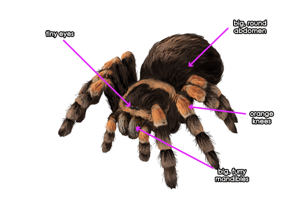 600x414 How To Draw Animals Spiders, Popular Species, Anatomy And Movement