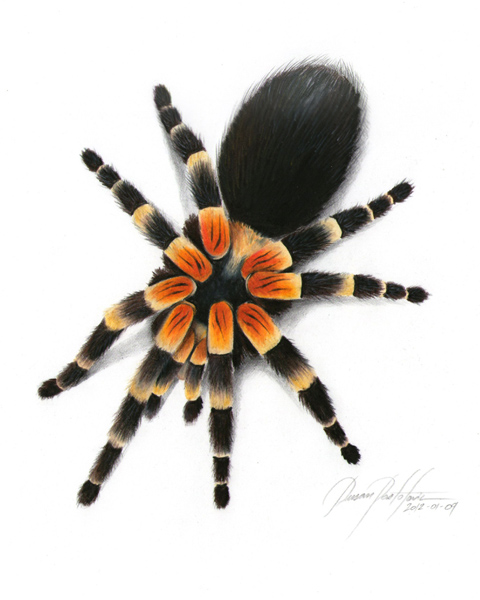 480x600 Colorful Spiders Colorful Spider Drawing