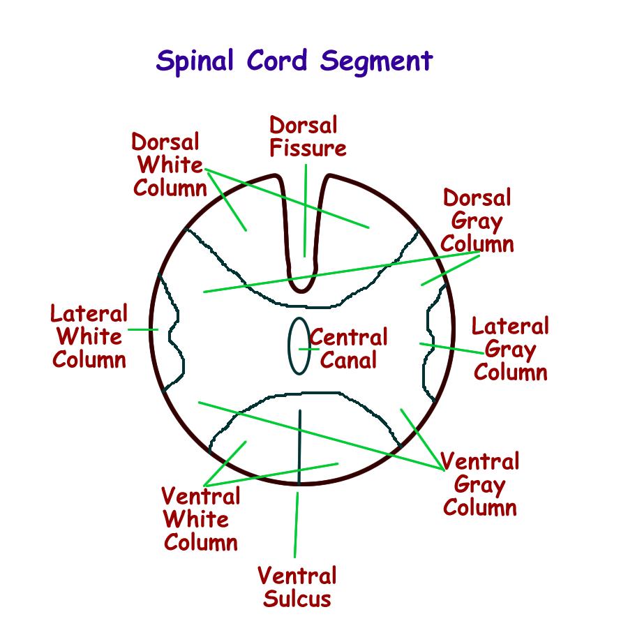 Spinal Cord Drawing At GetDrawings.com