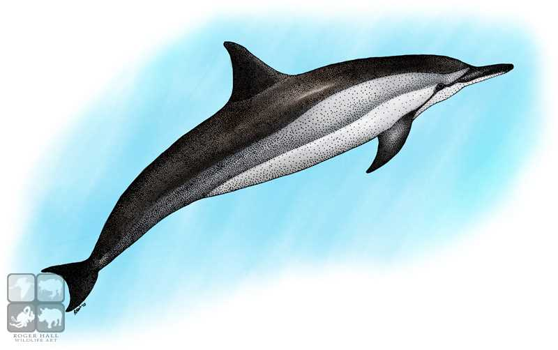 Coloring Pages For Adults Dolphins : Spinner dolphin drawing at getdrawings free for personal use