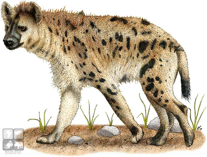 Spotted Hyena Drawing at GetDrawings.com | Free for personal use ...