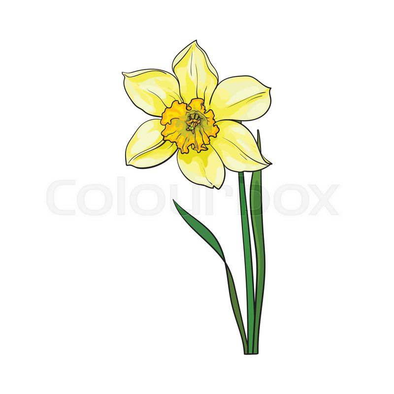 800x800 Single Yellow Daffodil, Narcissus Spring Flower With Stem