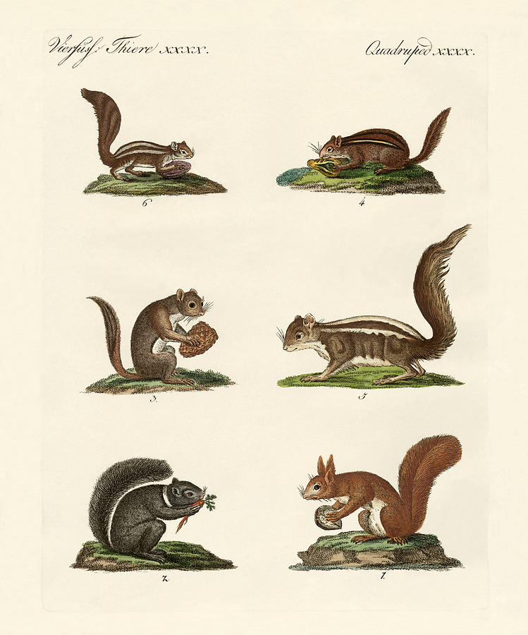 749x900 Different Kinds Of Squirrels Drawing By Splendid Art Prints