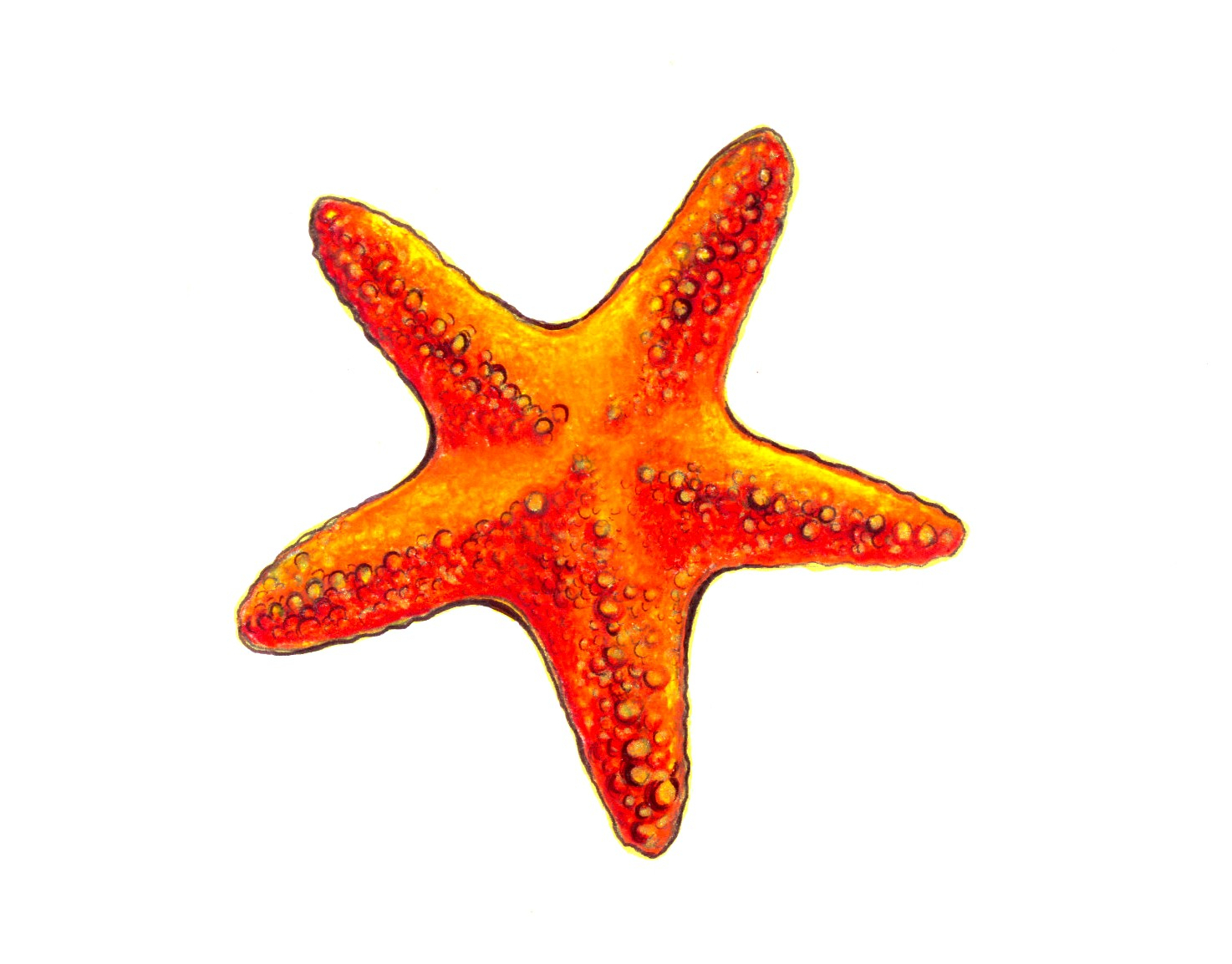 Starfish Drawing at GetDrawings.com | Free for personal use Starfish ...