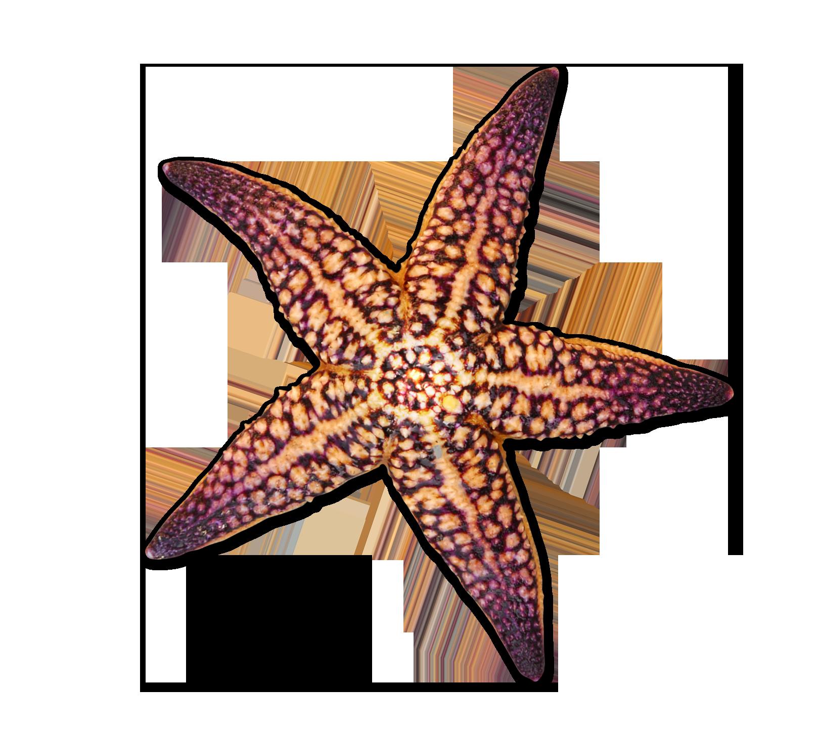 1616x1446 Starfish Seashell Drawing
