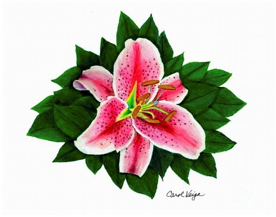 Stargazer Lilies Drawing At Getdrawings Com Free For Personal Use