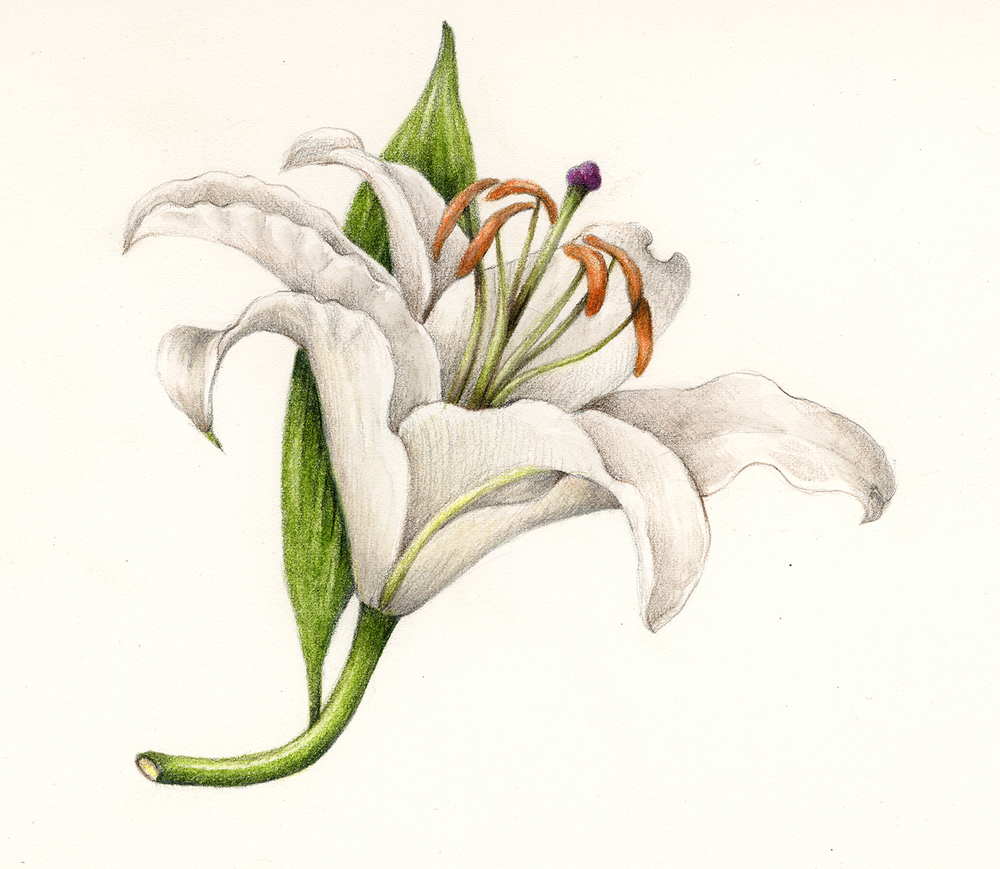 Stargazer lilly drawing at getdrawings free for personal use 1000x869 flowers gallery botanical artist amp illustrator learn to draw izmirmasajfo
