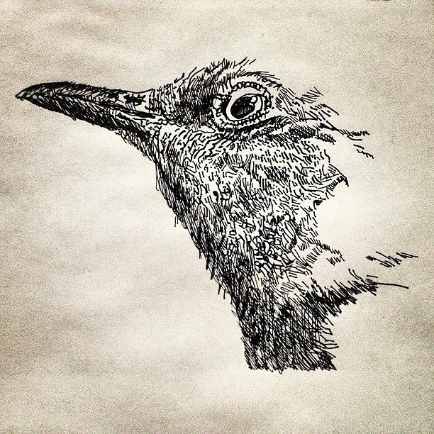 612x612 Texas State Bird Drawing In Progress