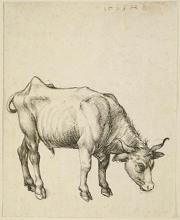 629x768 Young Steer, Albrecht Durer