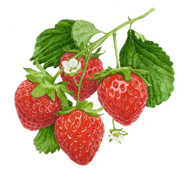 735x735 397c73f024aaad0d281438921941418f Strawberry Drawing Strawberry