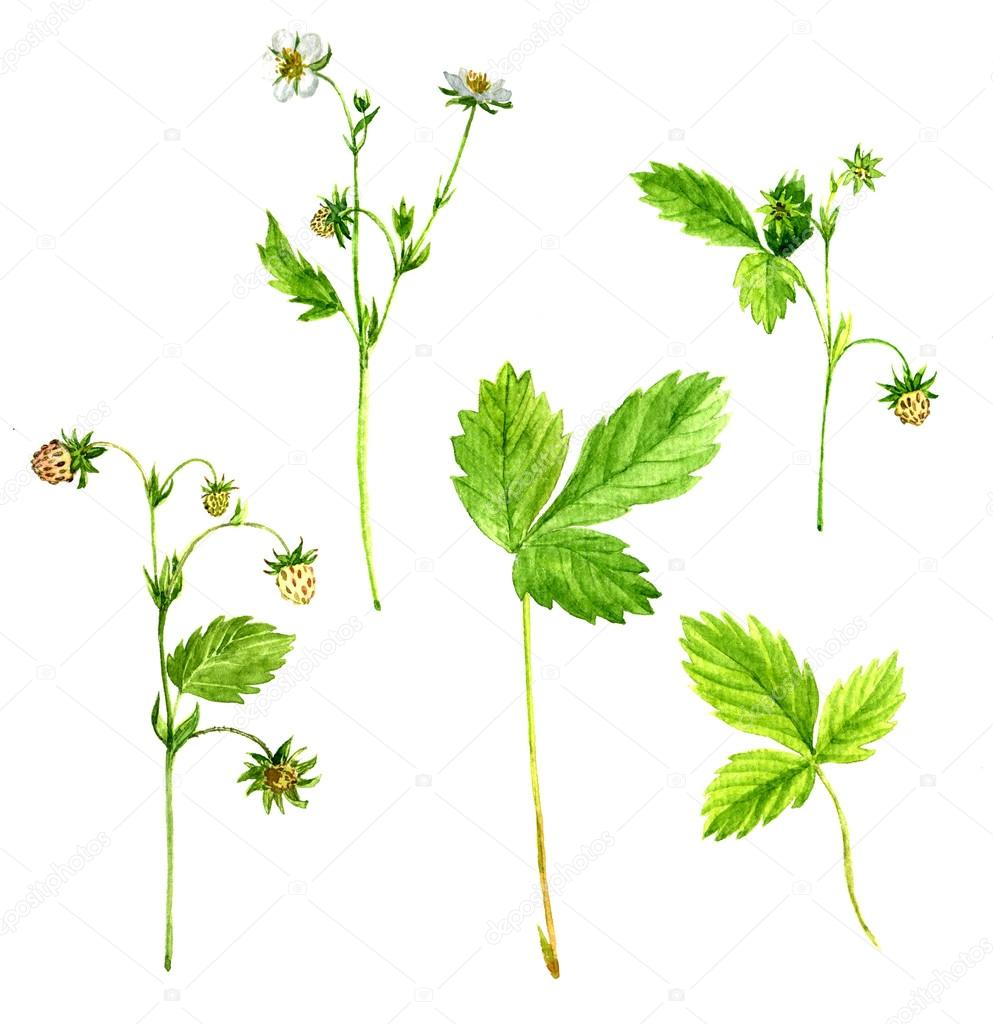 Strawberry Plant Anatomy Topsimages