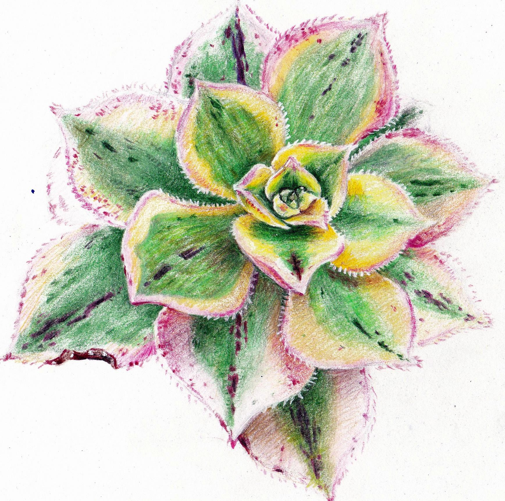 1736x1720 Succulent Drawing Succulents
