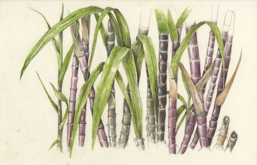 500x321 Kosugarcane By Botanical Artist Wendy Hollender Botanical Art