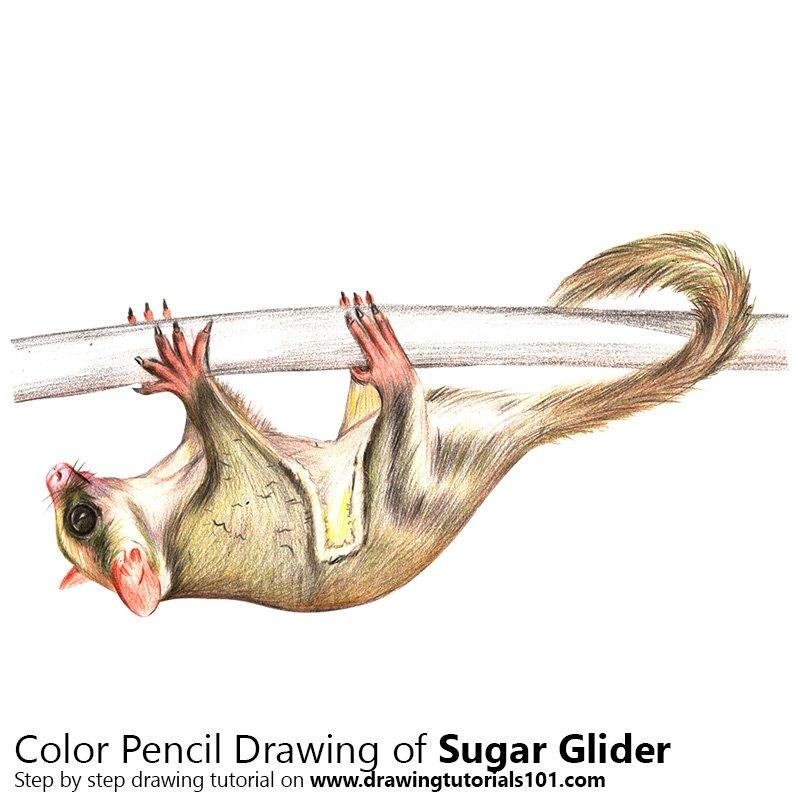 800x800 Sugar Glider Colored Pencils