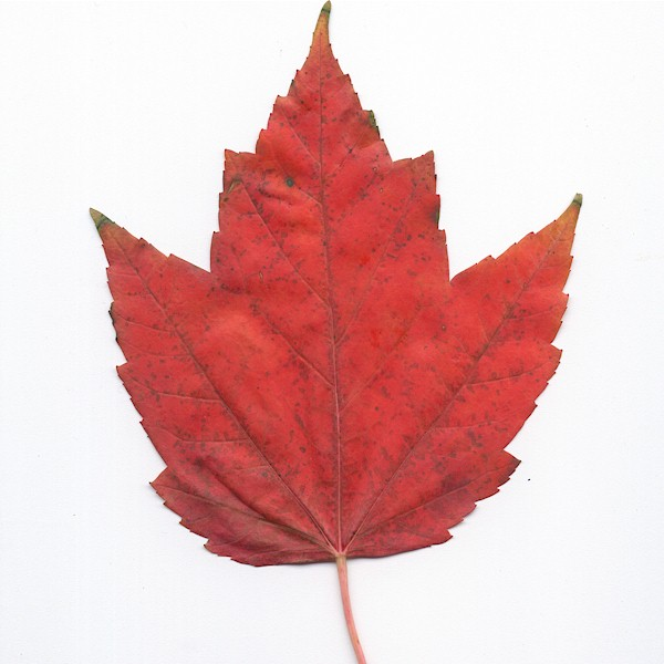 Sugar Maple Leaf Drawing at GetDrawings com | Free for personal use