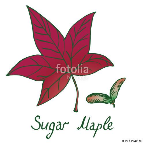 500x500 Sugar Maple (Acer Saccharum Or Rock Maple) Leaf And Samaras, Hand