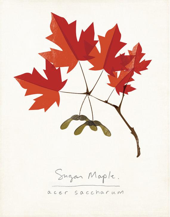 570x725 Sugar Maple Autumn Leaves Botanical Print By Shopamysullivan