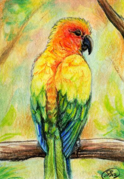 400x579 Free Prints Of Pictures Of Sun Conures Sun Conure Aceo By